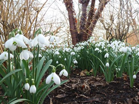 snowdrop walk Anglesey abbey